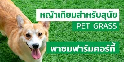 พาชมฟาร์มคอร์กี้ ที่ติดตั้งหญ้าเทียมสำหรับสุนัข PET GRASS